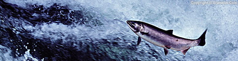 Forage Fish Are a Critical Food Supply for Northwest Salmon