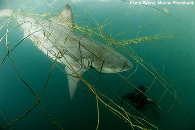Shark bycatch