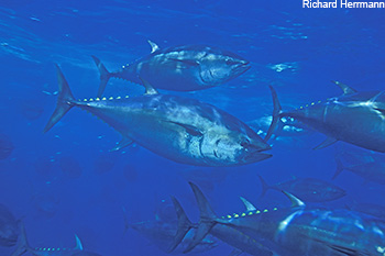 How Much Will the Last Pacific Bluefin Tuna Cost?
