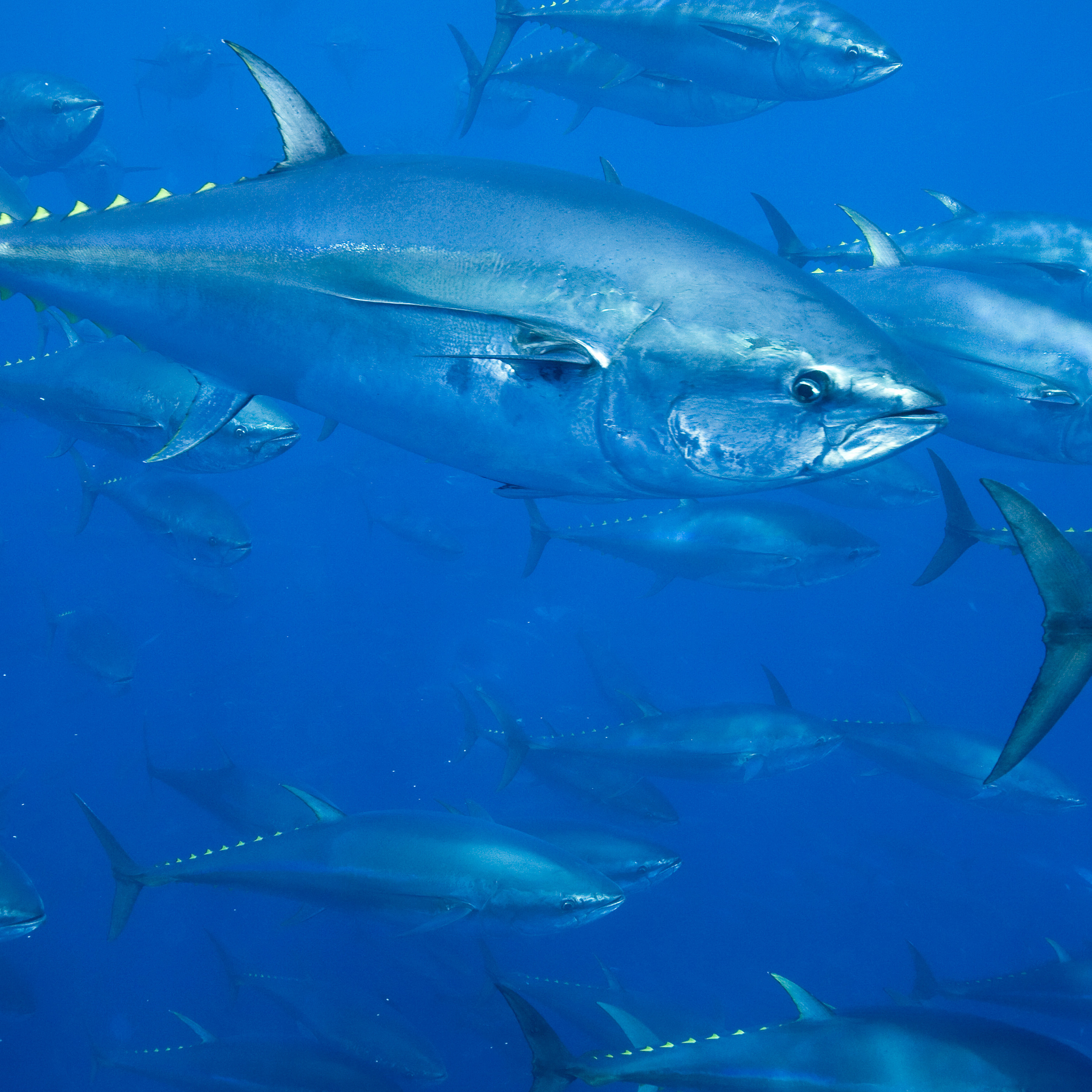 atlantic bluefin tuna The story of atlantic bluefin tuna is a cautionary tale of explosive growth, management neglect, ignored science, falling populations, and an uncertain future.