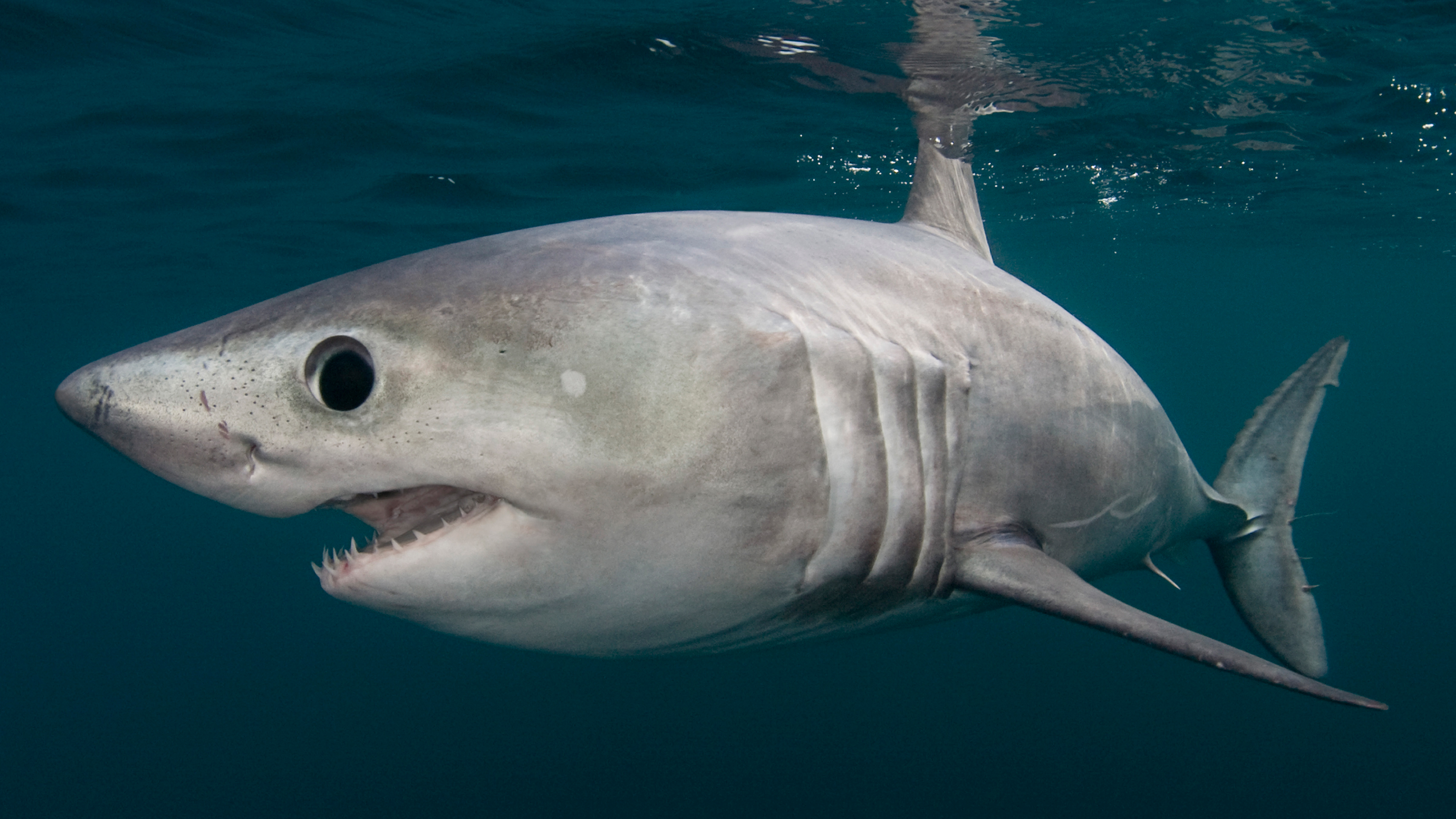 the truth about britain u0027s sharks does danger lurk in our waters